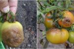 Щоб не втратити врожай помідорів, не допускайте цих помилок