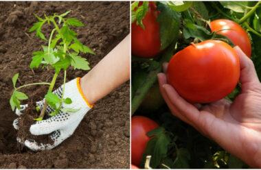 Вирощування помідорів: чим підживити, та як захистити від хвороб