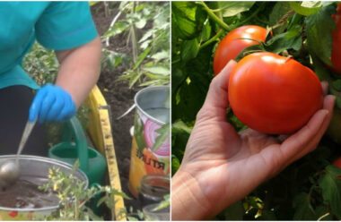 Натуральні добрива для помідорів, щоб плоди швидко зростали та були великими