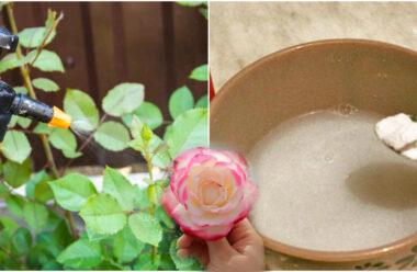 Рецепт омолодження троянд за допомогою соди. Вони знову почнуть активно квітнути