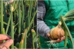 Як запобігти стрілкуванню цибулі, цим самим збільшити врожай