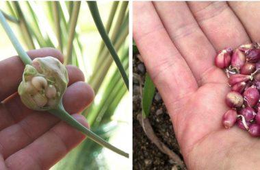 Як за допомогою повітряних бульбочок оновити насіння часнику