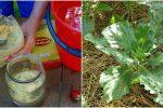 Застосування сухої гірчиці від шкідників на городі. Простий та дієвий засіб