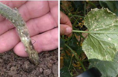 Рятуємо огірки: коренева гниль і борошниста роса. Дієві засоби, щоб вберегти врожай