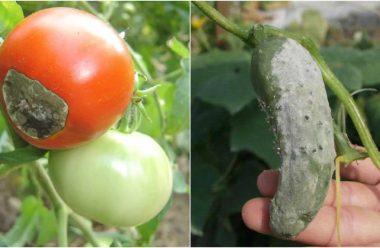 Щоб огірки та помідори не хворіли, обробіть їх цим засобом