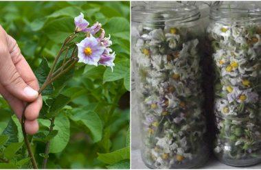 Картопляний цвіт — корисні лікувальні властивості, про які мало хто знає. В чому сама допомагає