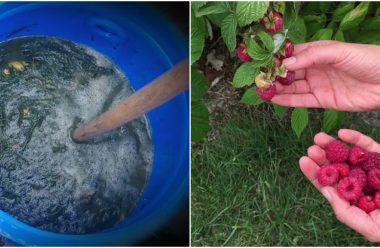 Правила догляду за малиною влітку. Чим підживити та як захистити від шкідників