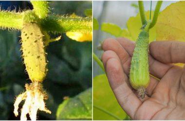 Що робити, коли на огірках жовтіє та опадає зав'язь, щоб не втратити врожай