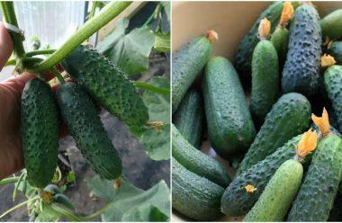 Як правильно доглядати за огірками, щоб вони родили ціле літо
