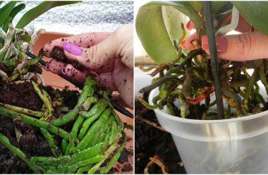 Коли, та як правильно пересаджувати орхідею, щоб вона ще довго цвіла