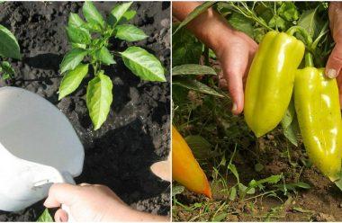 Чим краще підгодувати перець, щоб він гарно розвивався та був великий