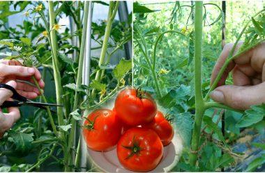 Пасинкування помідорів — коли, та як правильно це робити