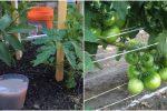 Чим підживити помідори, щоб вони добре зав'язалися та принесли гарний врожай