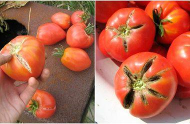 Як правильно доглядати за помідорами в літню спеку, щоб вони не тріскалися і не в'янули