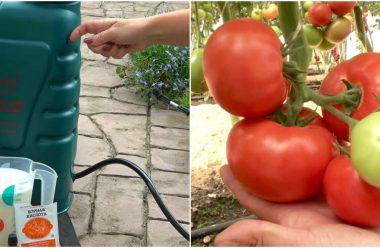 Підживлення помідорів під час формування і росту плодів. Яке саме добриво краще вносити