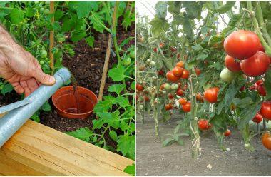 Добрива, які потрібно внести під час росту томатів, щоб вони були великі та солодкі