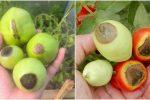Дієвий спосіб лікування томатів, від вершинної гнилі