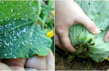 Ефективний засіб проти попелиці і слимаків в городі
