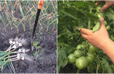 Липень — важливі роботи на городі. Що потрібно зробити городникам в цьому місяці