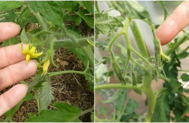 Що робити, коли томати цвітуть, але не зав'язуються. Городникам на замітку