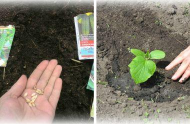 Найбільш сприятливі дні для посадки огірків в липні. Щоб був гарний врожай