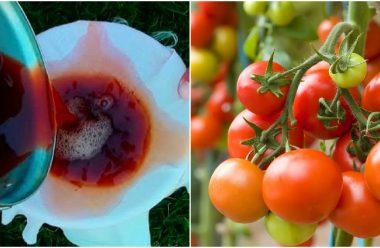 Ефективний засіб, для підгодівлі томатів, щоб плоди були великі та смачні