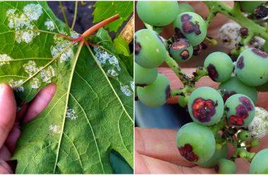 Як захистити виноград від хвороб та шкідників, щоб не втратити врожай