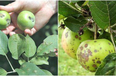 Що робити, щоб парша не появлялася на яблуках. Прості та дієві методи