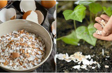 Яєчна шкаралупа – цінне добриво, яке допоможе збільшити врожай