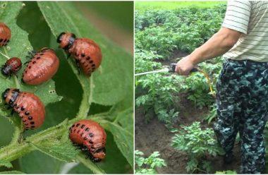 Колорадський жук — ефективні методи боротьби. Городникам на замітку