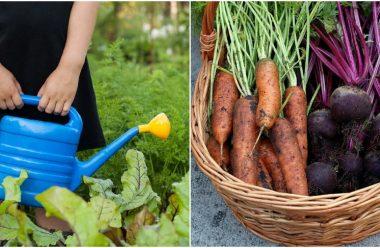 Чим підживити моркву та буряк, щоб підвищити врожайність та смакові якості