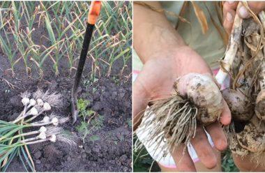 Як зрозуміти, що пора копати часник? Корисні поради для городників