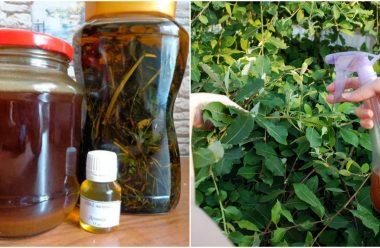 Чистотіл — допоможе позбутися від багатьох шкідників на вашому городі
