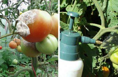 Захист помідорів від фітофтори: прості та дієві методи — городикам на замітку