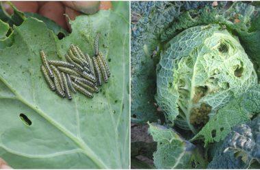 Захищаємо капусту від шкідників. Дієві методи — городникам на замітку