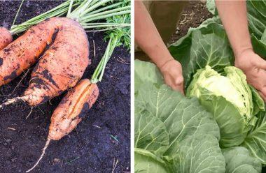 Що треба зробити, щоб не тріскалася морква та капуста. Поради від досвідчених городників