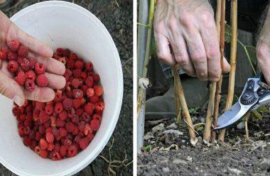 Що потрібно зробити з кущами малини після збору врожаю, щоб гарно вродила наступного року