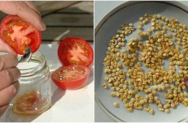 Як правильно та швидко зібрати насіння з томатів, щоб наступного року мати вже свої