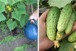 Підгодівля огірків: рецепти натуральних добрив, що мати гарний врожай