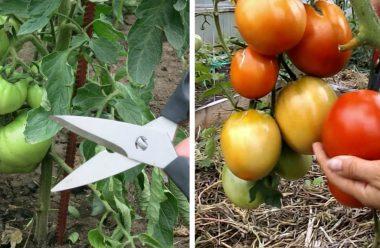 Догляд за помідорами в липні. Що слід зробити, щоб отримати гарний врожай