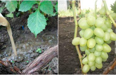 Підгодівля винограду в липні. Яке добриво потрібно внести, щоб мати гарний врожай