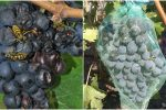 Захист винограду від осиного рою. Що слід зробити, щоб вберегти врожай