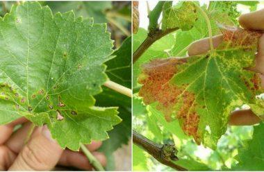 Як врятувати виноград, коли листя вкривається жовтими плямами. Методи боротьби