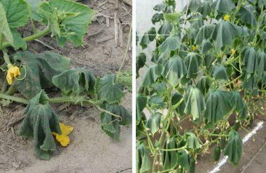 Чому в'яне листя огірків. Головні причини, і що робити, щоб не втратити врожай