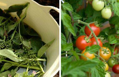 Щоб прискорити дозрівання помідорів, підживіть їх цим засобом