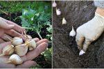 Коли краще садити часник на зиму, та як правильно це робити, щоб мати гарний врожай