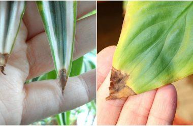 Чому чорніють кінчики листя у кімнатних рослин та стають сухими