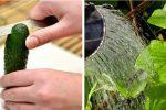 Чому огірки стають гіркими, та що слід зробити щоб позбутися цього