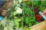 Як слід поливати помідори та огірки, коли ночі уже холодні, щоб не нашкодити рослинам