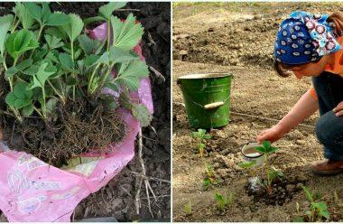 Посадка полуниці осінню: коли і як правильно висаджувати, щоб добре прижилася